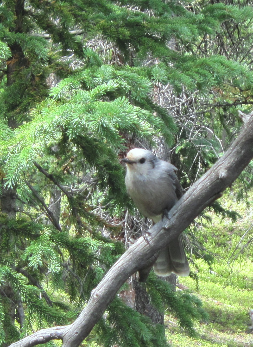 Mountain Grey Jay